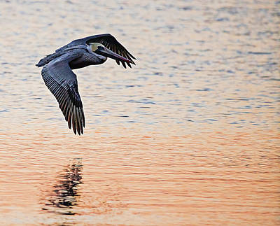 Lori A Cash Royalty-Free and Rights-Managed Images - Brown Pelican in Flight in Morning Light by Lori A Cash