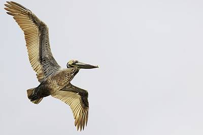 Lori A Cash Royalty-Free and Rights-Managed Images - Brown Pelican in Flight by Lori A Cash