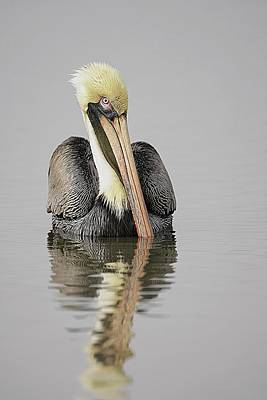 Lori A Cash Royalty-Free and Rights-Managed Images - Brown Pelican Portrait in Water by Lori A Cash