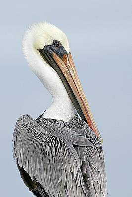 Lori A Cash Royalty-Free and Rights-Managed Images - Brown Pelican Portrait by Lori A Cash