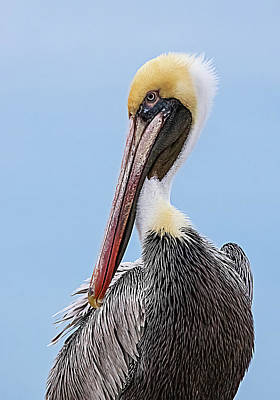 Lori A Cash Royalty-Free and Rights-Managed Images - Brown Pelican Portrait with Blue Sky by Lori A Cash