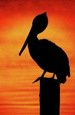 Lori A Cash Royalty-Free and Rights-Managed Images - Brown Pelican Profile Silhouette by Lori A Cash