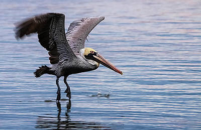 Lori A Cash Royalty-Free and Rights-Managed Images - Brown Pelican Skimming Water by Lori A Cash