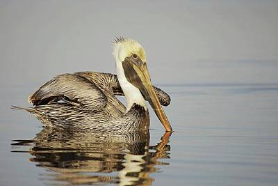 Lori A Cash Royalty-Free and Rights-Managed Images - Brown Pelican Stretching by Lori A Cash