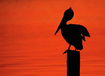Lori A Cash Royalty-Free and Rights-Managed Images - Brown Pelican Stretching on Post Silhouette by Lori A Cash
