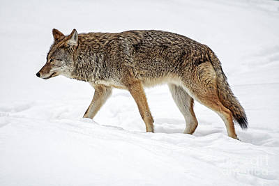 Hollywood Style - Brush Wolf by Nina Stavlund