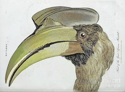 Animals Drawings - Buceros The Great African Hornbill h1 by Historic illustrations