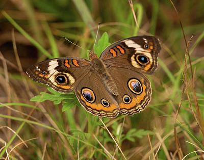 Pucker Up - Buckey Butterfly by Lara Ellis