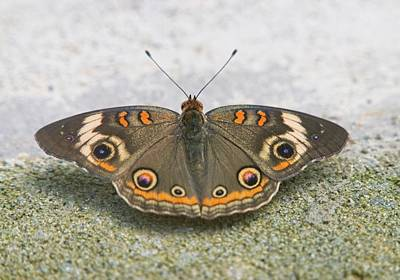 Comedian Drawings Rights Managed Images - Buckeye Butterfly Resting Royalty-Free Image by Douglas Barnett