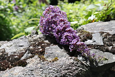 Winter Animals Royalty Free Images - Buddleia on Wall Royalty-Free Image by Michaela Perryman