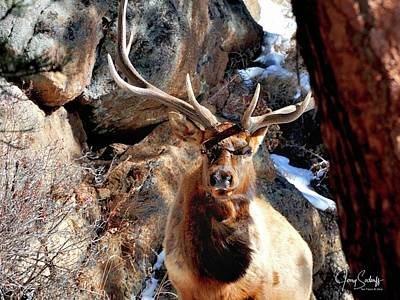Jerry Sodorff Royalty-Free and Rights-Managed Images - Bull Elk Locked In DS by Jerry Sodorff