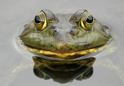 Queen Rights Managed Images - Bull Frog Closeup Royalty-Free Image by Jack Nevitt