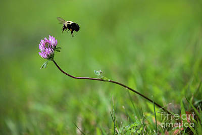 Royalty-Free and Rights-Managed Images - Bumblebee and Clover by Diane Diederich
