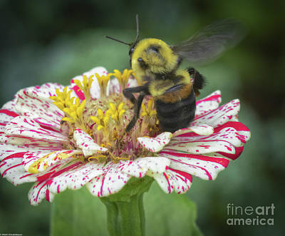 Studio Grafika Typography - Bumble Bee On Zinnia by Mitch Shindelbower