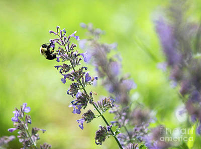 Royalty-Free and Rights-Managed Images - Bumblebee on a  Catmint Flower by Diane Diederich