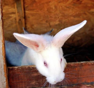 Animals Photos - Bunny by Andonis Katanos