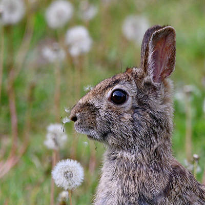 Photograph - Bunny Rabbit In Field With Dandelions On It's Nose by Ray Sheley