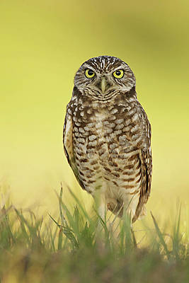 Lori A Cash Royalty-Free and Rights-Managed Images - Burrowing Owl at Sunset by Lori A Cash