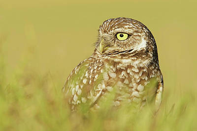 Lori A Cash Royalty-Free and Rights-Managed Images - Burrowing Owl Close Up Portrait by Lori A Cash