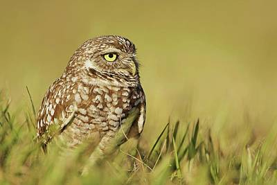 Lori A Cash Royalty-Free and Rights-Managed Images - Burrowing Owl Sitting in Grass by Lori A Cash