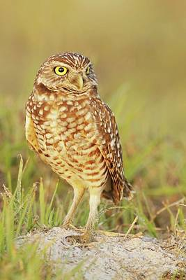 Lori A Cash Royalty-Free and Rights-Managed Images - Burrowing Owl Standing by Lori A Cash