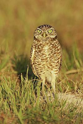 Lori A Cash Royalty-Free and Rights-Managed Images - Burrowing Owl Standing on Ground by Lori A Cash