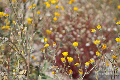 Nirvana - Butter Yellow Wildflowers in Coachella Valley Wildlife Preserve by Colleen Cornelius