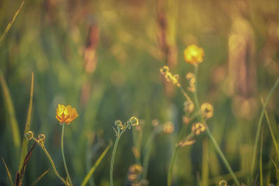 Royalty-Free and Rights-Managed Images - Buttercups 2020 No 9 by Chris Fletcher