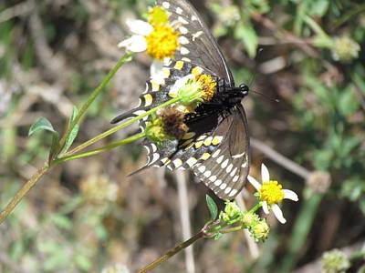 Photograph - Butterfly on Spanish Needle Flower at Okaloacoochee Slough State Forest by Ian Sands