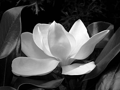 Keith Richards - BW Magnolia Closeup in Early Morning Light by Michael McBrayer