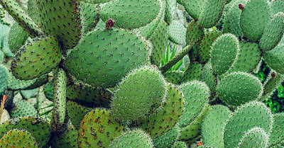 Royalty-Free and Rights-Managed Images - Cactus, Prickly Pear Cactus, Cactus Spines, Close Up Background  by Julien