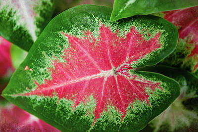 Just Desserts Rights Managed Images - Caladium Color Royalty-Free Image by David Beard