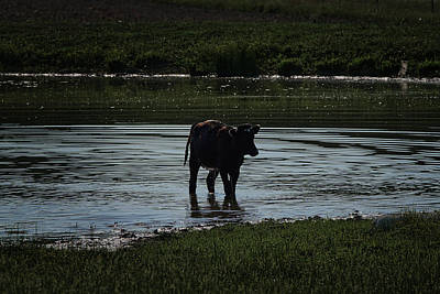 Science Collection - Calf in pond by Ernie Echols