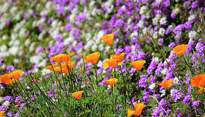 Uncle Sam Posters Rights Managed Images - California Poppies and Latana Blossoms Royalty-Free Image by Brian Tada