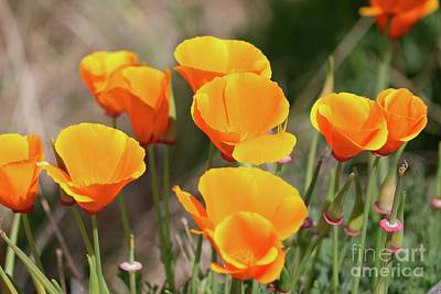 Vintage Diner Cars Royalty Free Images - California Poppy Closeup Royalty-Free Image by Carol Groenen