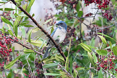 Soap Suds - California Scrub-Jay in a Toyon by Marcus England