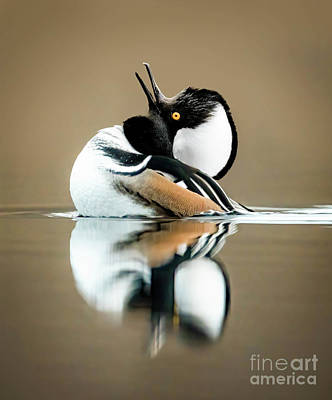 Advertising Archives - Call of the Hooded Merganser by Todd Bielby