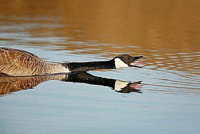 Lori A Cash Royalty-Free and Rights-Managed Images - Canada Goose Honking by Lori A Cash