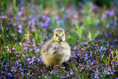 Royalty-Free and Rights-Managed Images - Canada Gosling by Nina Stavlund