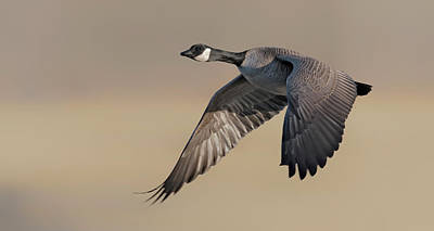 Birds Rights Managed Images - Canadian Goose in flight Royalty-Free Image by Gary Langley