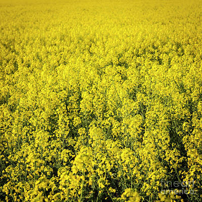 Photograph - Canola Flower by Tim Hester
