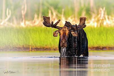 Animal Portraits - Cant You See Im Eating - Moose Allagash by Jan Mulherin