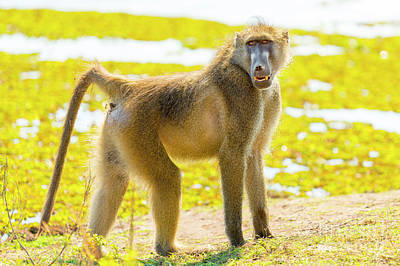 Royalty-Free and Rights-Managed Images - Cape Baboon by THP Creative