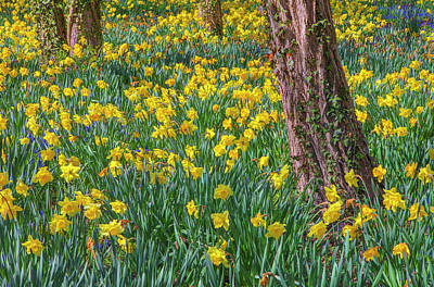 Just Desserts - Cape Cod Sea of Daffodils by Juergen Roth