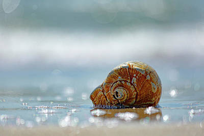 Nautical Animals - Cape Lookout Conch by Paula OMalley