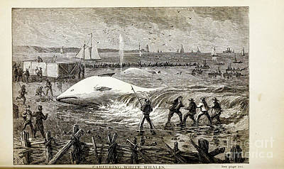 Drawings Royalty Free Images - CAPTURING WHITE WHALES i Royalty-Free Image by Historic illustrations