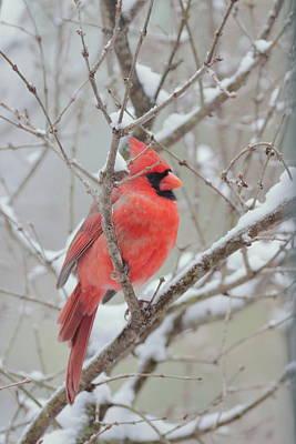 Photograph - Cardinal 1405 by John Moyer