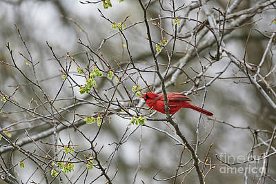 Farmhouse Rights Managed Images - Cardinal Munching Away Royalty-Free Image by Thomas Bomstad