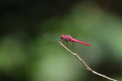 Ethereal - Carmine Skimmer Dragonfly by Marlin and Laura Hum