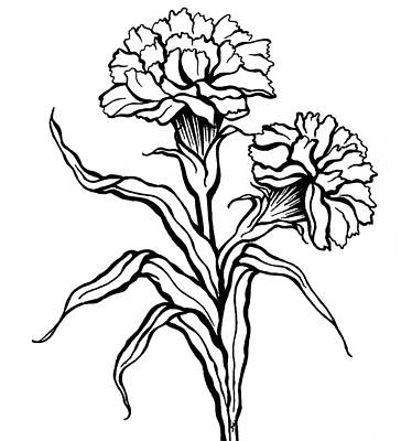 Animals Drawings - Carnation by Jennifer Wheatley Wolf